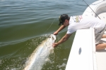 Trent Long releases a tarpon during the 81st STR May 2015